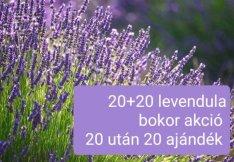 20+20 levendula bokor. 20 bokor után plusz 20 bokor. Budapesten