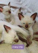 4 sziámi / thai cica eladó