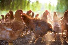 Akció!!!!     Tanyasi ,Házi Csirke és Tojás eladó