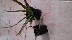 Aloe Vera több méretben