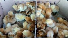 Bábolnai naposcsibe csirke csibe! Ingyenes házhozszállítás!