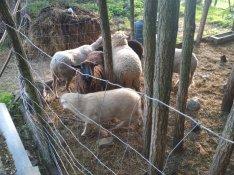 Birka, bárány eladó