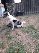 Border collie fajtajellegű kutya ingyen elvihető