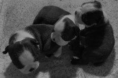 Boston terrier kiskutya