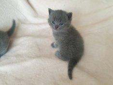Brit rövidszőrű jelleggű kiscicák