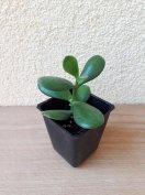 Crassula ovata majomfa pozsgafa pénzfa cserepes növény 6cm magas