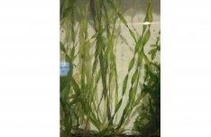 Csavart valisnéria, Vallisneria vízinövény eladó: 10db 500FT!