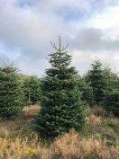 Dán nordmann fenyő / normand fenyőfa, karácsonyfa eladó