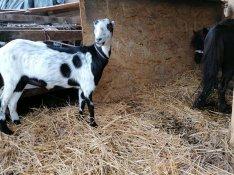 Eladó 1 éves mogyorófülü nöstény kecske