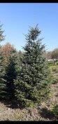 Eladó 3,5-4 m nordmann fenyő karácsonyfának