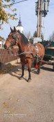 Eladó 6éves herélt ló