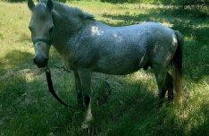 Eladó jo kocsis kis ló