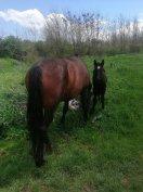 Eladó ló csikojával