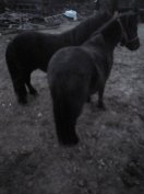 Eladó póni lovak