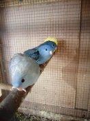 Eladók katalin papagájok