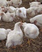 Élő és felpucolt egyedi háztáji jellegű kukoricás csirke eladó!