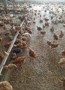 Előnevelt csirke