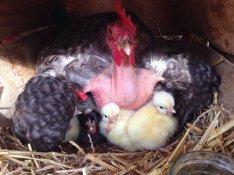 Erdélyi kopasznyakú tyúk tojás tenyésztojás keltetésre 130 forint