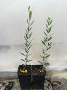 Fagytűrő olajfa (több fajta)