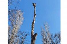 Fakivágás gallyazás veszélyes fák eltávolítása alpinista és kosaras