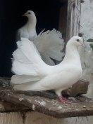 Fehér Páva galambok