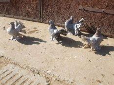 Fiatal Indiai pávagalambok eladók!