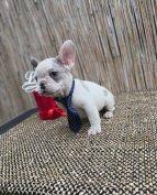 Francia bulldog babák Kek Harlekin Blue Merle