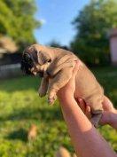 Francia bulldog jellegű ingyen elvihető