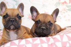 Francia bulldog jellegű kutyusok keresnek gazdit