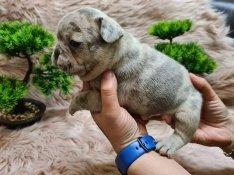 Francia bulldog kisfiúk