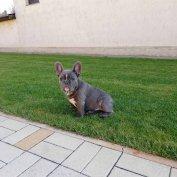 Francia bulldog kiskutya elvihető