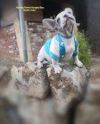 Francia bulldog kölykök
