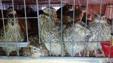 Fürj tojás, fürj tojó eladó előjegyezhető Dabasi vásárba Máj.9