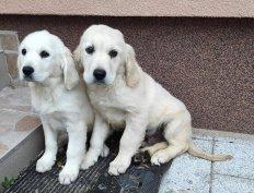 Golden retriever fajtajellegű 10 hetes kiskutya ajándékba ingyen vih