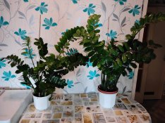 Gyönyörű Agglegénypálma (Zamioculcas zamiifolia)