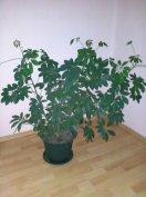 Gyönyörű nagyméretű szobanövények eladók.