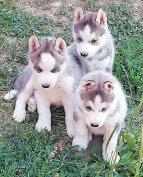 Husky kiskutyák
