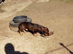 Ingyen elvihető egy szálkás szőrű tacskó jellegű kan kutya.