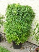 Jjiaogulan, Gulan, örök élet növénye, százévesek teája