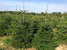 Karácsonyfa, fenyőfa, nordmann és lucfenyő eladó!