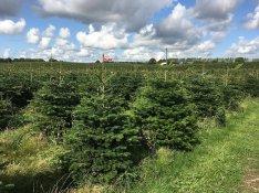 Karácsonyfa eladó nagy mennyiségben Ezüstfenyő Lucfenyő Normann fenyő