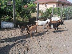 Kecske elado Debrecen Hasas növendék fejős bak lehet választani
