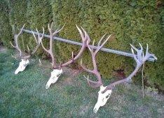 Keresek: Ágancs trófea vadászat hagyaték felvásárlás Magyarország egész terület