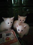 Kiscicák ajándékba, fehér tarka vörös