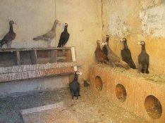 Kiváló minőségű Karrier galambok eladók!