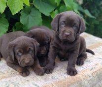 Labrador babák