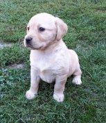 Labrador kanok