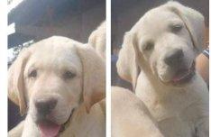 Labrador kiskutyák