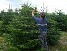 Lucfenyő, luc ezüstfenyő, nordmann, normand fenyő, karácsonyfa,fenyőfa