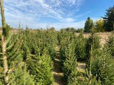 Lucfenyő luc fenyő karácsonyfa eladó